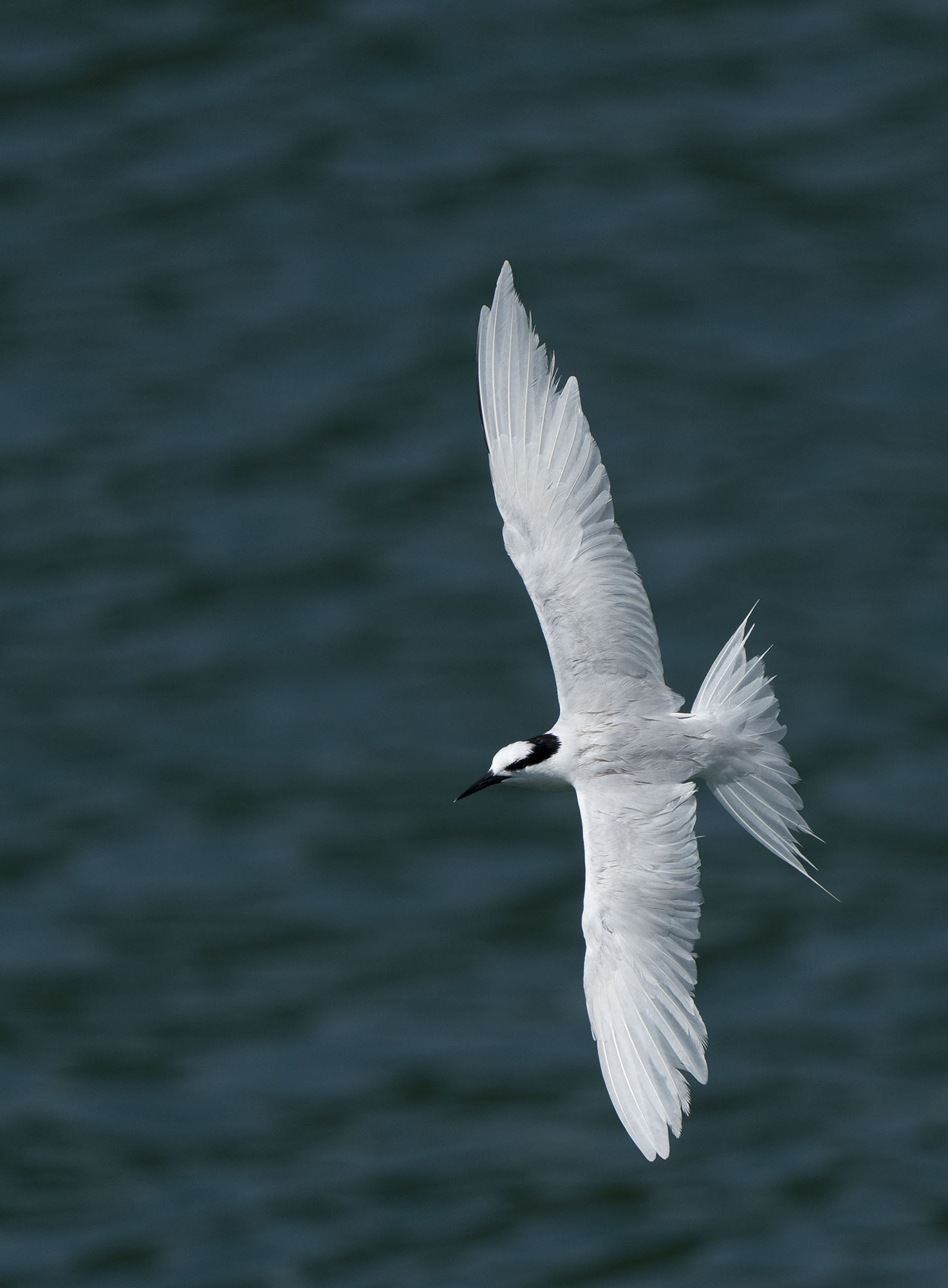 Black-naped Tern DSC02560.jpg